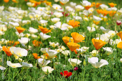 Kalifornischer Mohn - California poppy 24