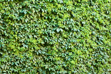 Ivy wall.