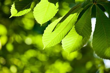 shallow focused chestnut leaves