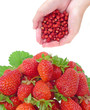 wild and garden strawberries