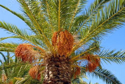 gros plan d 39 un palmier des canaries avec les fruits photo libre de droits sur la banque d. Black Bedroom Furniture Sets. Home Design Ideas