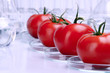 Quadro tomatoes in lab