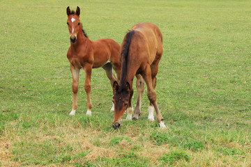 Llittle brown Foals