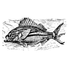 poisson, vecteur