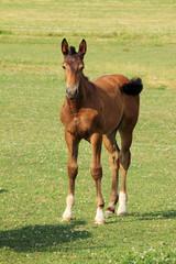 The little Foal