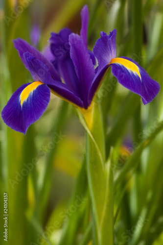 Iris in flower, late springtime