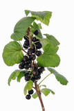 branch of ripe blackcurrant