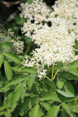 Elderflower (sambucus nigra) clusters, ready for picking