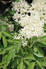 Elderflower (sambucus nigra) clusters, ready for picking