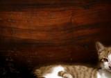 fondo rustico gato domestico poster