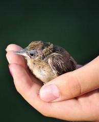 Pulcino di passero nel palmo di una mano