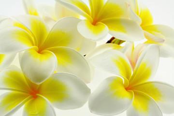 fleurs blanches et jaunes de frangipanier