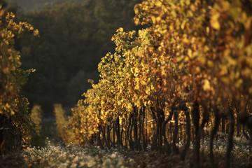 côtes-du-rhône vinyard
