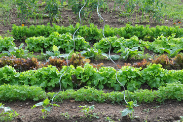 lettuces in the vegetable garden