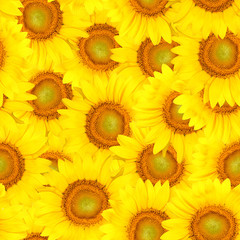 Sunflowers bakground - seamlessly in all direction