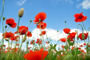 poppy against blue sky