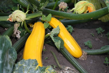 marrow or courgette