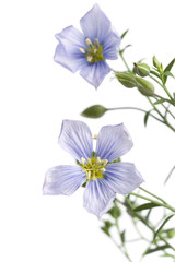 Blooming flax close up