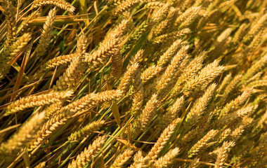 Ripe golden wheat spikes