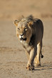Walking African lion