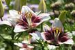 Lilies bush close up