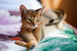 young Abyssinian cat in action