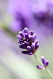 Fototapety Lavendelblüte