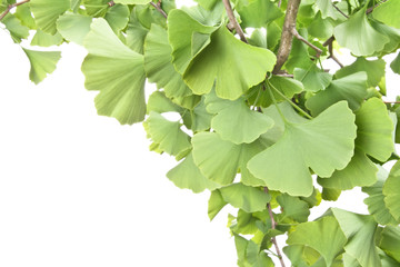 Ginkgo leaves, homeopathy