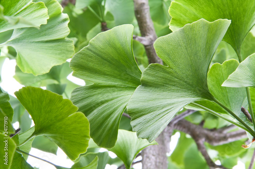 Ginkgoleaves for medicine