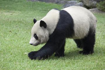 散歩するパンダ