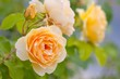 yellow romantic roses
