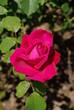 Edelrose in Pink