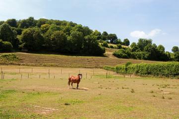Horse in Dutch landscape