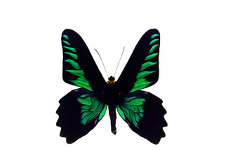 Dark Colors Butterfly