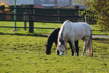 Grazing white horse and black foal