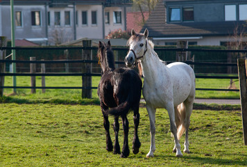 Whte horse and black foal