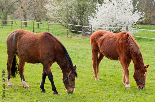 Two grazing red horses