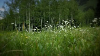 (1226) Colorado Mountains Summer Wildflowers Meadow Aspen LOOP