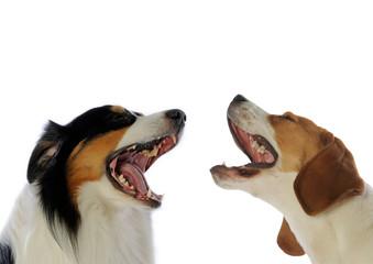 berger australien et beagle en pleine discussion