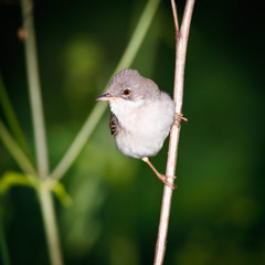 male of a Whitethroat, Sylvia communis