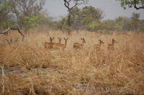 Papiers peints Antilope Troupeau de cobes de buffon