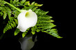 beautiful white Calla lilly