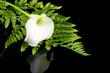 beautiful white Calla lilly