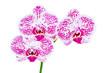 Phalaenopsis fuchsia sur fond blanc