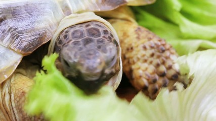 Hungry tortoise eating green lettuce on wooden background macro