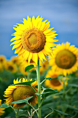 sunflower over dark blue sky