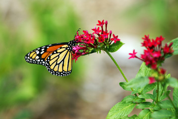 Monarch butterfly sits on a flower