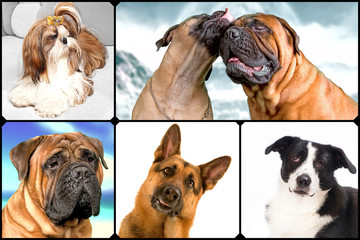Dogs: shepherd, border collie, bullmastiff, Shih Tzu