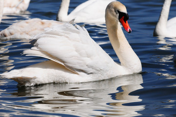 Swan in Black Sea