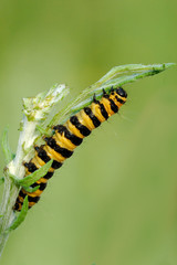 A Cinnabar Moth caterpillar feeding on Ragwort